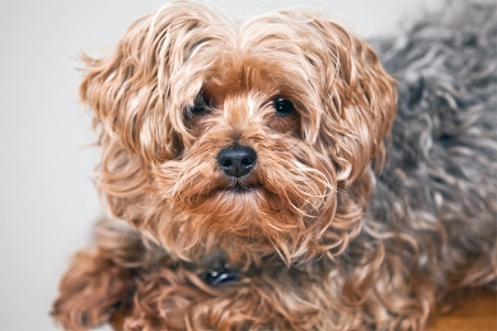 Shaggy Yorkie dog looks intently at camera, young Yorkipoo is interested in the viewer.